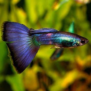 Blue Moscow Guppy Fish
