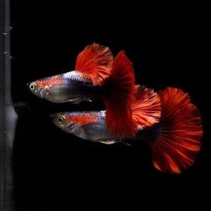 Hb Red Rose Guppy Fish