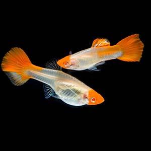 Koi See Thru Guppy Fish