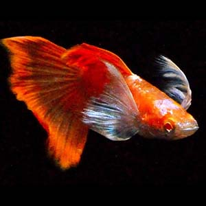 Full Red Blue Ear Red Tail Guppy Fish