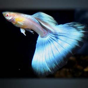 Japanblue Blue Tail Guppy Fish