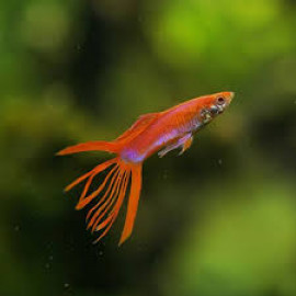 Crown Tail Merah Red Guppy Fish by www.aquastore.in