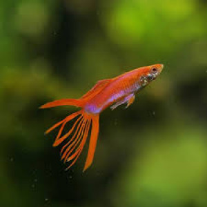 Crown Tail Merah Red Guppy Fish