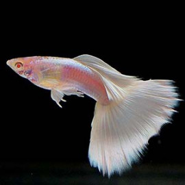 Albino Platinum White Tuxedo Guppy Fish by www.aquastore.in