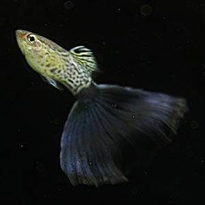 Cobra Blue Guppy Fish by www.aquastore.in