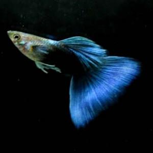 Half Black Blue Guppy Fish
