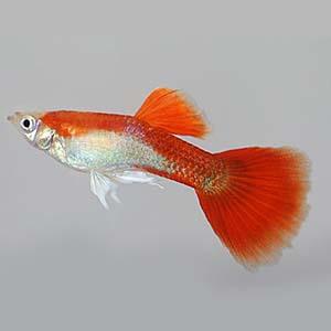 Blonde Red Guppy Fish