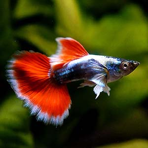 White Ear Santa Clause Guppy Fish