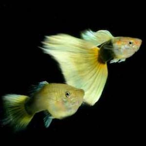 Yellow Tuxedo Guppy Guppy Fish