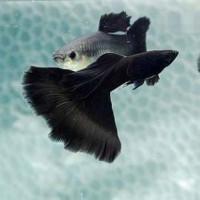Jet Black Ribbon Guppy Guppy Fish