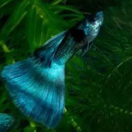 Emerald Green Guppy Fish by www.aquastore.in