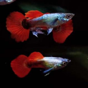 Platinum Red Guppy Fish