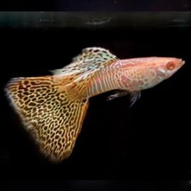 Albino Yellow Cobra Guppy Fish by www.aquastore.in