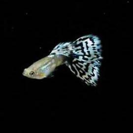 Pandora Blue Mosiac - 1 Pair by www.aquastore.in
