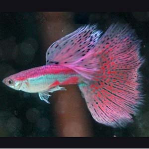 Pink Grass Guppy Guppy Fish