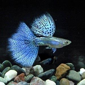 Pandora Blue Grass Guppy Fish