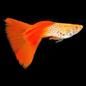 Cobra Red Guppy Fish by www.aquastore.in