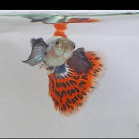 Big Ear Chilli Red Guppy Fish by www.aquastore.in