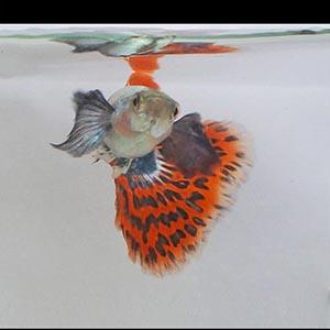Big Ear Chilli Red Guppy Fish