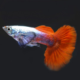 Big Ear Platinum Red Guppy Fish by www.aquastore.in