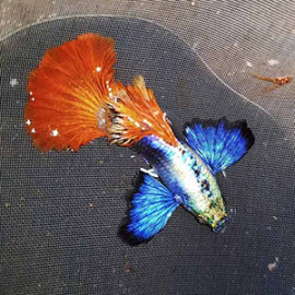 Dumbo Ear Platinum Red Guppy Fish by www.aquastore.in