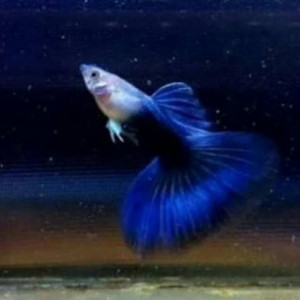 Dumbo Ear Blue Diamond Guppy Fish