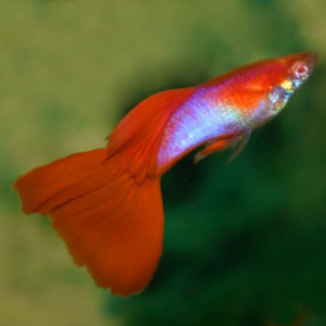 Japan Blue Red Guppy Fish