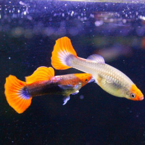 Tuxedo Koi Guppy Fish