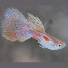 Red Grass Guppy - 1 Pair by www.aquastore.in
