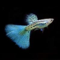 Japanese Blue Grass Guppy Fish