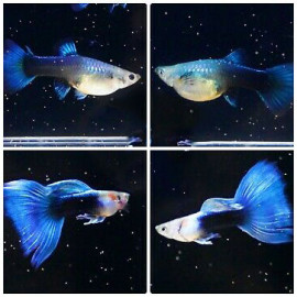 HB Light Blue Guppy - 1 Pair by www.aquastore.in