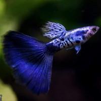 Galaxy Blue Tail Guppy Fish