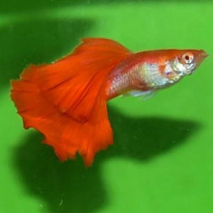 Albino Red Rose Guppy Fish