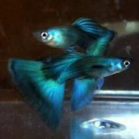 Dumbo Ear Emerald Green/Ribbon Guppy Fish