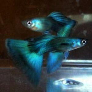 Dumbo Ear Emerald Green/Ribbon Guppy Fish