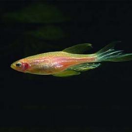 Danio Rerio PinkGlow - 2 nos by www.aquastore.in