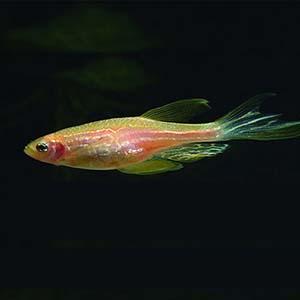 Danio Rerio Pinkglow Zebra Fish