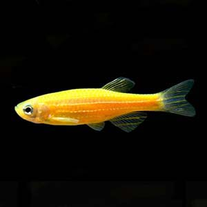 Danio Rerio Yellow Zebra Fish