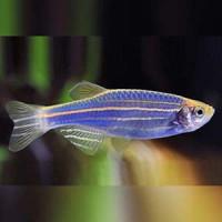 Danio Rerio Blue Zebra Fish