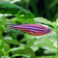 Danio Rerio Zebra Fish