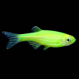 Danio Rerio Green -2 nos by www.aquastore.in