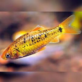 Golden Barb -1 by www.aquastore.in