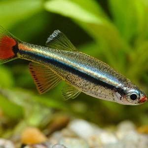 Mountain Minnow Fish