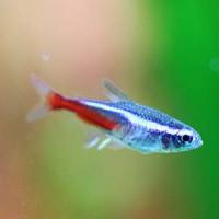 Neon Tetra Glow Fish