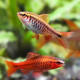 Red Cherry Barb -1 by www.aquastore.in