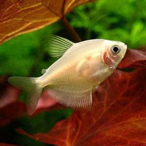 White Skirt Tetra Fish