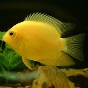 Yellow Severum Fish
