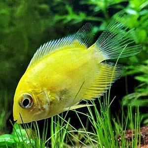 Yellow Severum Fish Small