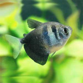 Black Tetra Fish