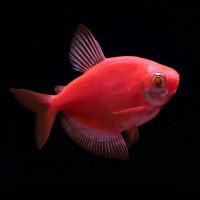 Red Widow Tetra Fish